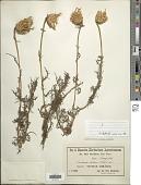 view Centaurea chilensis Bertero ex Hook. & Arn. digital asset number 1