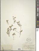 view Chaetosciadium trichospermum (L.) Boiss. digital asset number 1