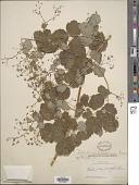 view Thalictrum jaliscanum Rose digital asset number 1