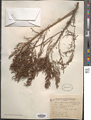 view Allenrolfea vaginata (Griseb.) Kuntze digital asset number 1