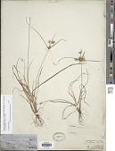 view Cyperus retroflexus Buckley var. retroflexus digital asset number 1