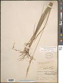 view Pascopyrum smithii (Rydb.) Barkworth & D.R. Dewey digital asset number 1