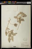 view Chrozophora sp. Neck. ex A. Juss. digital asset number 1