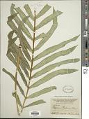 view Serpocaulon attenuatum (Humb. & Bonpl. ex Willd.) A.R. Sm. digital asset number 1