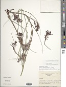 view Scleria skutchii M.T. Strong & J.R. Grant digital asset number 1