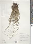 view Carex perakensis C.B. Clarke digital asset number 1