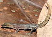 view Sphaerodactylus guanajae digital asset number 1