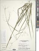 view Rhynchospora sparsiflora (Kunth) L.B. Sm. digital asset number 1