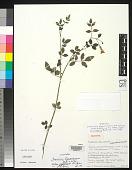 view Jasminum bignoniaceum subsp. zeylanicum P.S. Green digital asset number 1