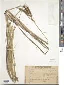 view Carex polysticha Boeckeler digital asset number 1
