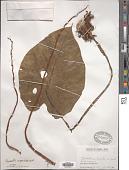 view Remusatia vivipara (Roxb.) Schott digital asset number 1