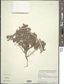 view Frankenia corymbosa Desf. digital asset number 1