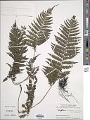 view Trigonospora calcarata (Blume) Holttum digital asset number 1