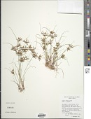 view Cyperus amabilis Vahl digital asset number 1