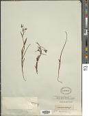 view Ornithoglossum viride (L. f.) Dryand. ex W.T. Aiton digital asset number 1