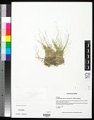view Muhlenbergia filiformis (Thurb. ex S. Watson) Rydb. digital asset number 1