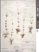 view Syngonanthus fertilis var. orinocensis Moldenke digital asset number 1