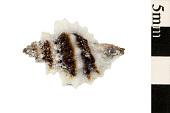 view Rock Snail digital asset number 1