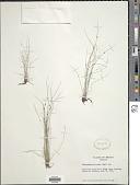view Cyperus subsquarrosus (Muhl.) Bauters digital asset number 1