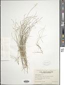 view Carex eburnea Boott digital asset number 1