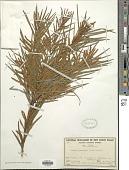 view Acacia floribunda digital asset number 1