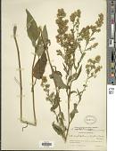 view Symphyotrichum sagittifolium (Wedem. ex Willd.) G.L. Nesom digital asset number 1