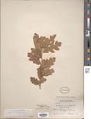 view Quercus havardii Rydb. digital asset number 1