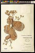 view Anacardium occidentale L. digital asset number 1
