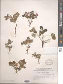 view Rubus acaulis Michx. digital asset number 1