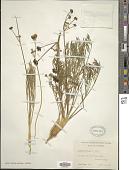 view Lomatium humile (J.M. Coult. & Rose) Hoover ex Mathias & Constance digital asset number 1