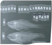 view Ostorhinchus semilineatus digital asset number 1