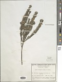 view Aotus lanigera Benth. digital asset number 1