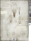 view Cyperus hemidrummondii Goetgh. digital asset number 1