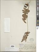 view Anemia villosa Humb. & Bonpl. ex Willd. digital asset number 1