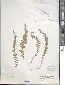 view Woodsia elongata Hook. digital asset number 1