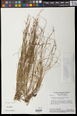 view Rhynchospora brevirostris Griseb. digital asset number 1