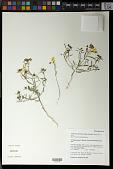 view Camissonia kernensis subsp. gilmanii (Munz) P.H. Raven digital asset number 1