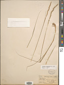 view Tridentopsis mutica var. elongata (Buckley) P.M. Peterson & Romasch. digital asset number 1