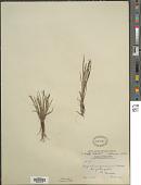 view Sisyrinchium minus Engelm. & A. Gray digital asset number 1