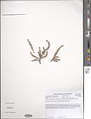 view Crassula lanceolata (Eckl. & Zeyh.) Endl. digital asset number 1