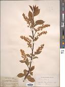 view Prunus padus L. digital asset number 1