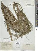 view Equisetum giganteum L. digital asset number 1