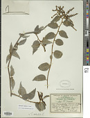 view Myriopus volubilis (L.) Small digital asset number 1