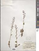 view Micranthes lumpuensis (Engl.) Losinsk. digital asset number 1