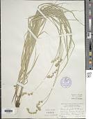 view Carex projecta Mack. digital asset number 1