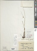 view Scleria ciliata Michx. var. ciliata digital asset number 1