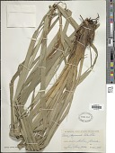 view Carex bequaertii De Wild. digital asset number 1