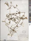 view Clematis tibetana Kuntze digital asset number 1