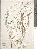 view Panicum natalense Hochst. digital asset number 1