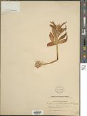 view Fritillaria camschatcensis (L.) Ker Gawl. digital asset number 1